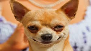 Chihuahua may not belong to Ms H-W, but is indicative of the smug little bastards.