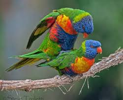 lorikeets having sex