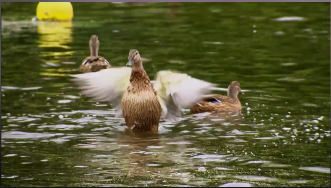 duck-flapping